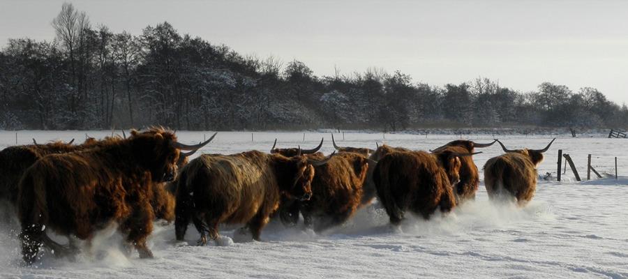 100% grasgevoerd natuurvlees online kopen (ervaring Schotse Hooglanders)*