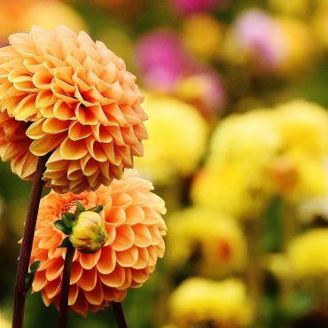 Met dahlia's uit de tuin knutselen en kunst maken*