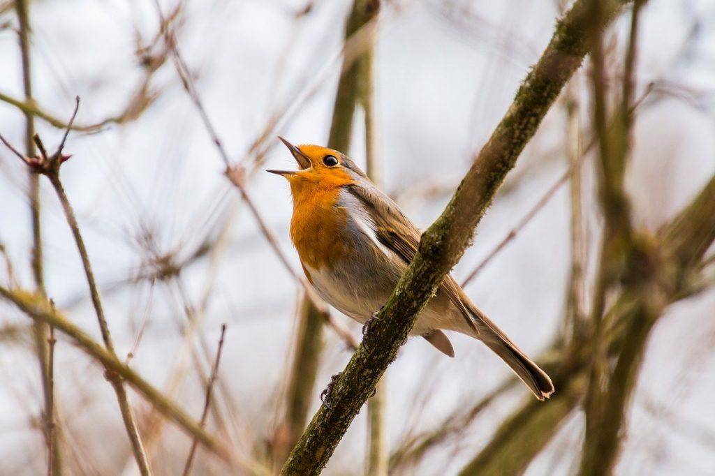 bewonder zingen vogels