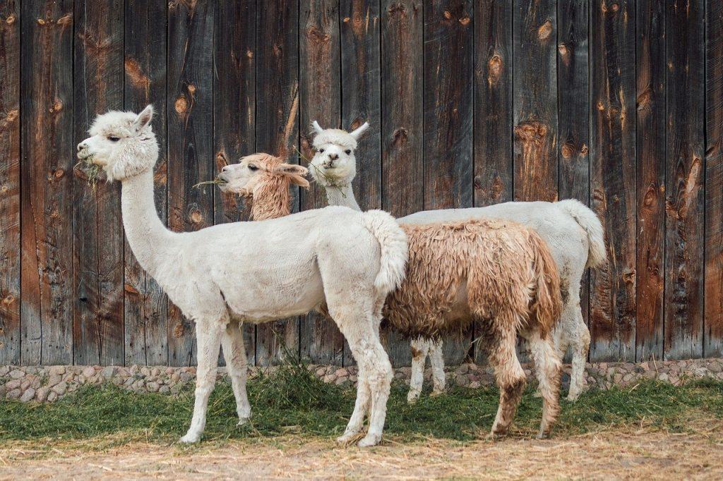 Moederdag eco cadeaus alpaca wandelen